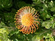 Protea. In Orange Royalty Free Stock Photos