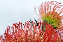 Protea Royalty-vrije Stock Fotografie