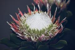 Protea Royalty-vrije Stock Foto's
