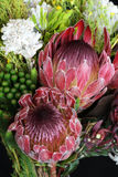 Protea. Close up of Proteas found in the Western Cape area of South Africa Stock Images