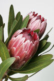 Protea photo stock