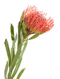 Protea aislado en blanco Fotografía de archivo