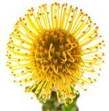 Protea amarelo fotos de stock royalty free