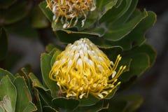 Protea amarelo com um inseto minúsculo Imagem de Stock Royalty Free