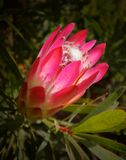 Protea Stock Photography