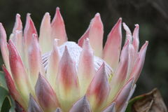 Protea in bloom Royalty Free Stock Photography
