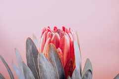 Protea bud closeup. Red King Protea flower on pink background. Beautiful fashion flower macro shot. Valentine`s Day. Gift stock image