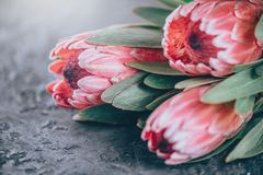 Protea buds closeup. Bunch of pink King Protea flowers over dark background. Valentine`s Day stock photo