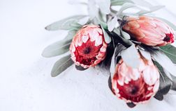 Protea buds closeup. Bunch of pink King Protea flowers over grey background. Valentine`s Day stock photos