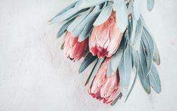 Protea buds closeup. Bunch of pink King Protea flowers over grey background. Valentine`s Day stock image