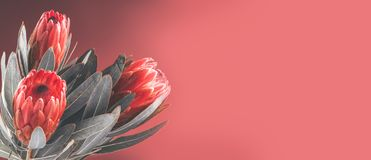 Protea buds closeup. Bunch of red King Protea flowers. Valentine`s Day bouquet royalty free stock images