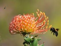 Protea stock photo