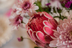 Protea Royalty Free Stock Image