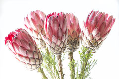 Protea Bunch. Bunch of protea flowers against white background stock images