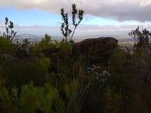 Protea Bush Silhoette imagem de stock