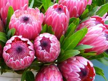 Pink Ice Protea Royalty Free Stock Photos
