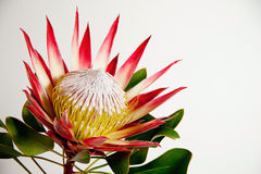 Protea. Colorful South African Protea flower on light background royalty free stock image