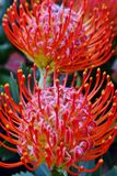 Protea común del acerico Fotos de archivo libres de regalías