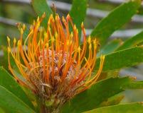 Protea con il centro sfocato fotografie stock
