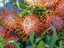 Protea cynaroides, 'König Pink ', Proteaceae, im Rot, einige Blumen Die Blume wächst auf den Stammspitzen und hat die Form eines  stockfoto