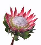 Protea cynaroides. King Protea flower isolated on white background royalty free stock photos