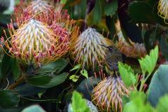 Protea da almofada de alfinetes, jardim botânico de Kirstenbosch, Cape Town, África do Sul imagens de stock