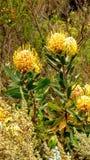 Protea de pelote à épingles dans les fynbos Images stock