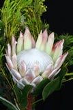 protea de roi images libres de droits