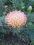 Protea de rouge à lèvres photos libres de droits
