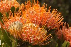Protea del puntaspilli Fotografie Stock