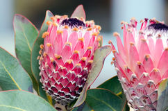 Protea. Detail of some vibrant flowering Protea plants with some leaves and open flowerhead royalty free stock images