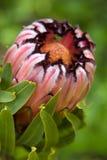 protea di colore rosa del visone del fiore Immagine Stock