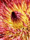 Protea eximia Royalty Free Stock Photo