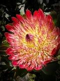 Protea eximia 1 Royalty Free Stock Photos