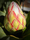 Protea eximia flower bud Royalty Free Stock Image