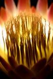 Protea-Feuer Lizenzfreie Stockfotos