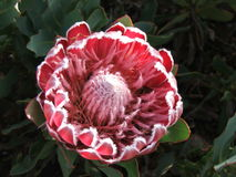 Protea flower Royalty Free Stock Images