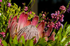 Protea flower Stock Photos