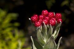 Syncarpha eximia strawberry everlasting Royalty Free Stock Photography