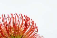 Protea flower. Close-up of of a nutan (leucospermum stock image