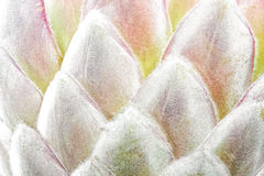 Protea flower closeup Stock Photo