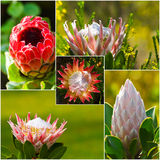 Protea flower composite Royalty Free Stock Images