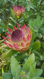 Protea Flower - South Africa royalty free stock photography