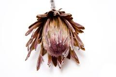 Protea flower on white Stock Photos