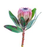 Protea flower on a white background Royalty Free Stock Images