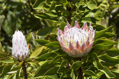 King Protea - national flower of South Africa stock image