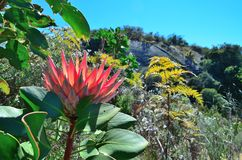 Protea flowers in bloom. Protea flowerss in bloom in the western cape south africa Stock Photos