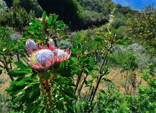 Protea flowers in bloom. Protea flowerss in bloom in the western cape south africa Royalty Free Stock Photography