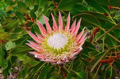 Protea flowers in bloom. Protea flowerss in bloom in the western cape south africa Stock Images