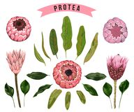 Protea flowers, buds and leaves. Collection decorative floral design elements for wedding invitations and birthday cards. Royalty Free Stock Photo